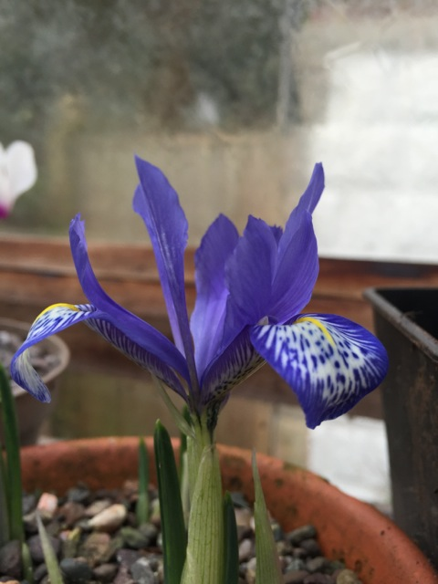 the beautiful flower of iris reticulata