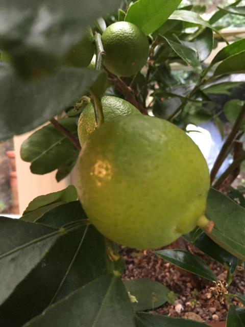 limes growing on the tree in January