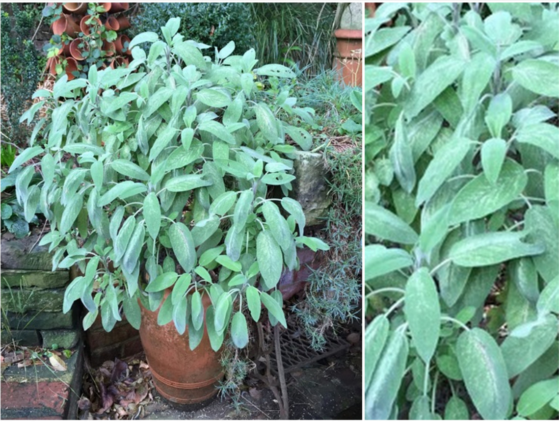 sage plant in a terracotta pot