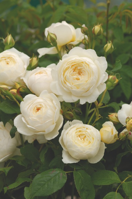 Subtle white English Rose Claire Austin