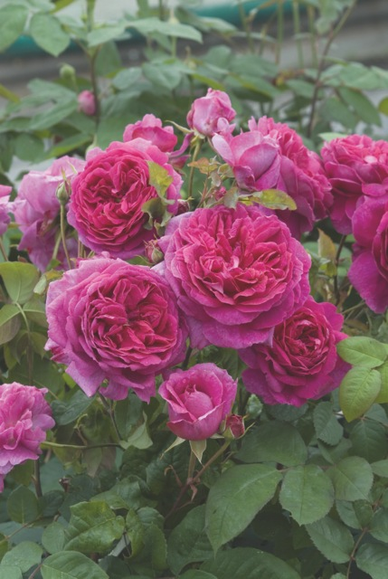 English Rose Young Lycidas
