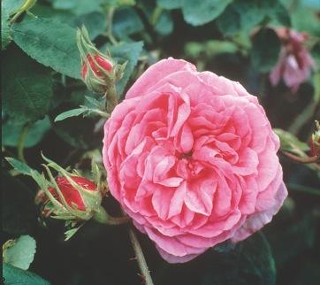 vibrant pink flowering rose