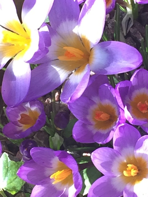 Crocuses are in beautiful and colourful bloom