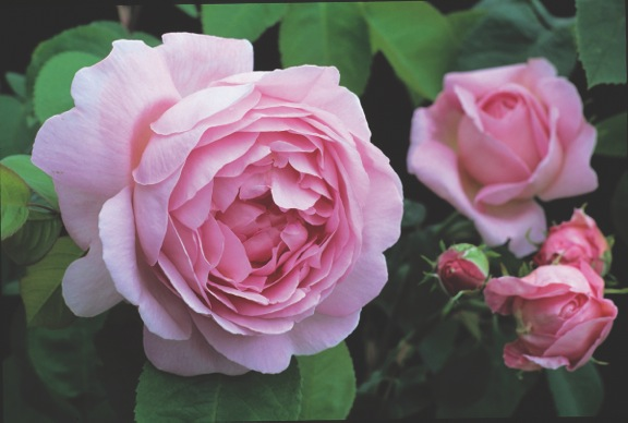 Musky Constance Spry pink rose