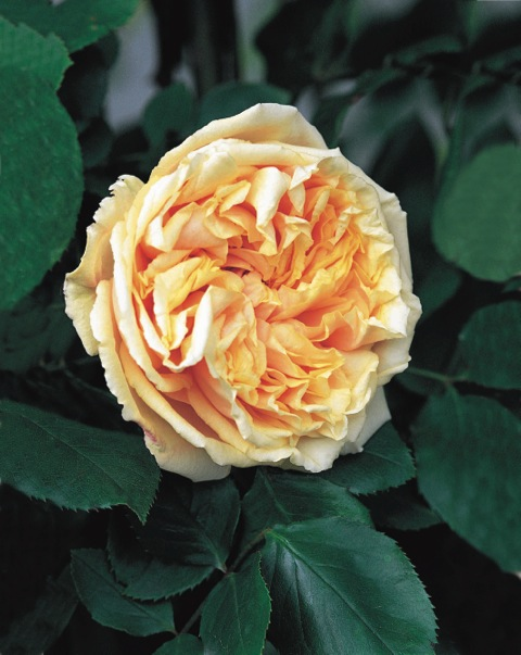 Tea rose Gloire de Dijon