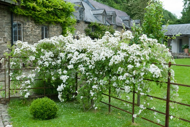 Musk scented Rambling Rector over a garden fence