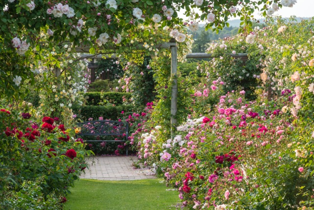 view of a spectacular rose garden in bloom