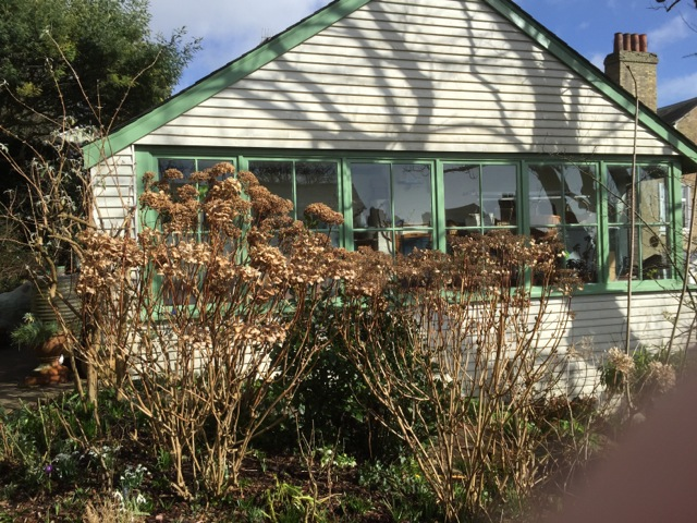 HYDRANGEAS PRIOR TO PRUNING