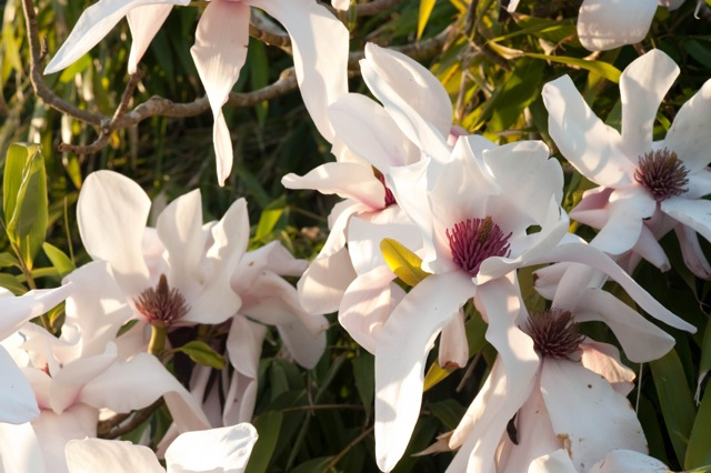 close up of magnolia