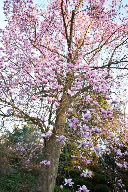 large magnolia tree