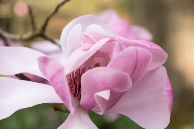 magnolia flower opening up