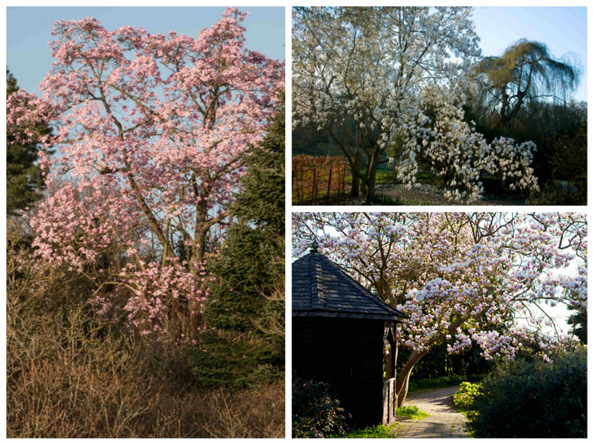 magnolia tree collage