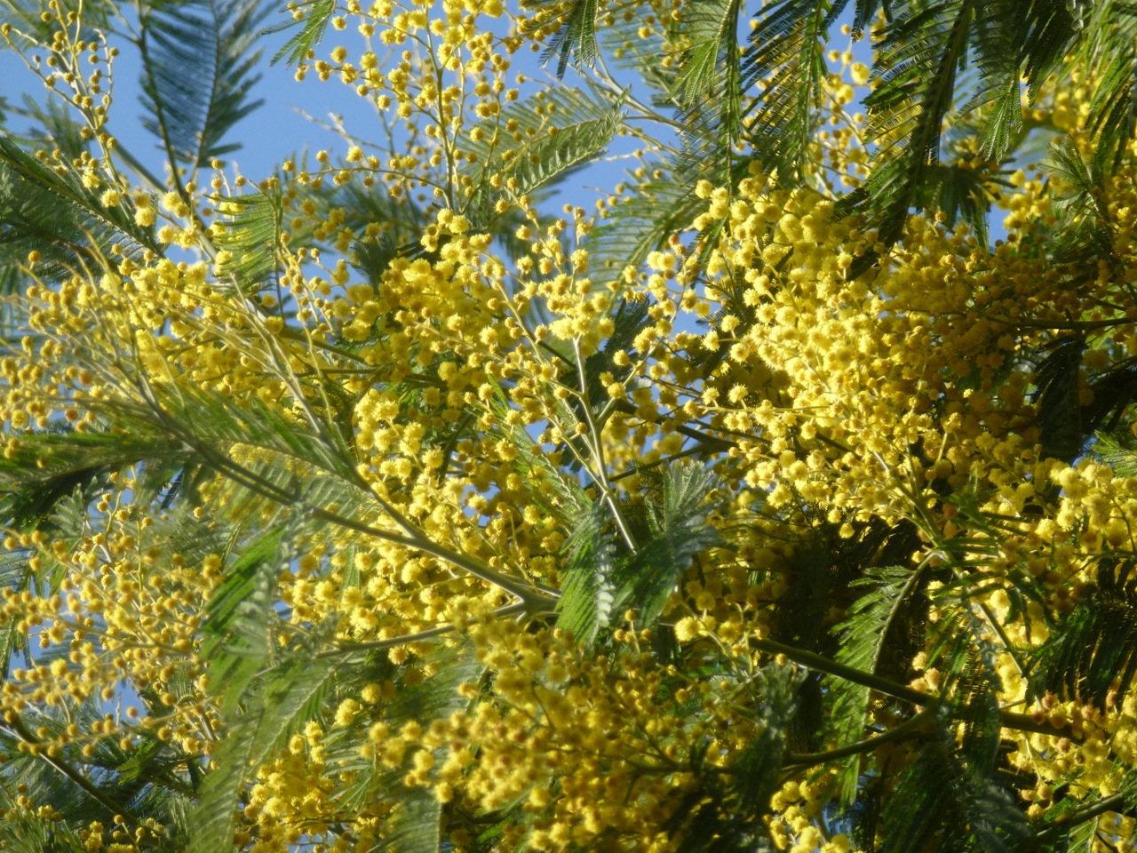 mimosa tree in flower