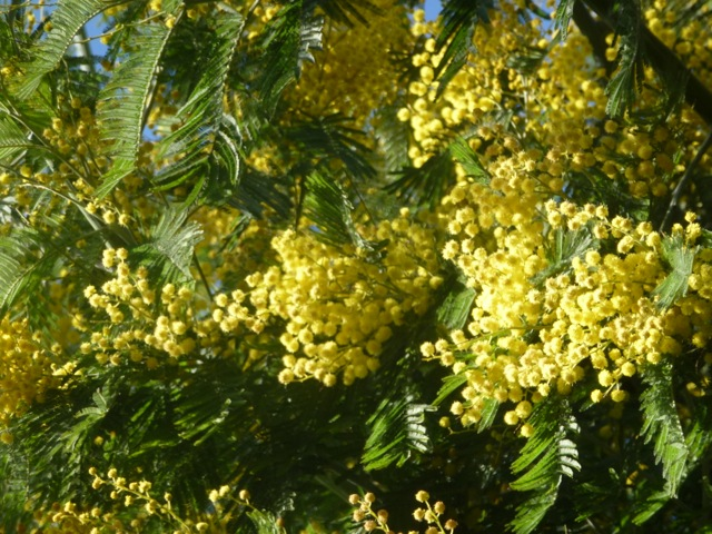 mimosa tree yellow flowers