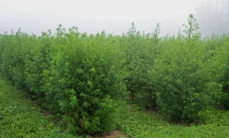 artemisia hedging