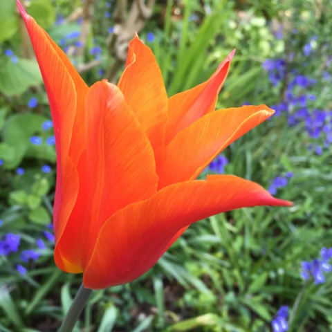 Tulip 'Ballerina'