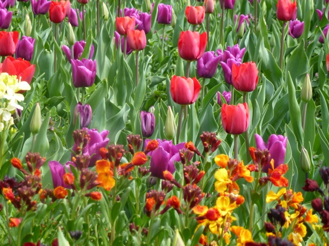 bright coloured tulips at Arundel