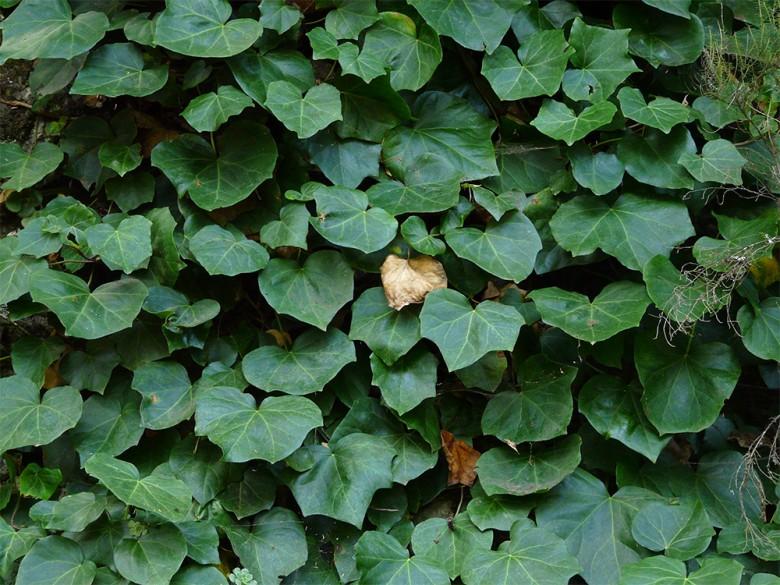canary-island-ivy
