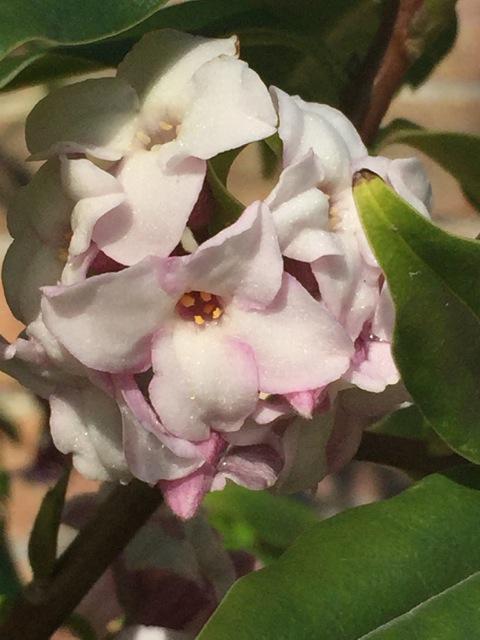 D. Jacqueline Postil flowering