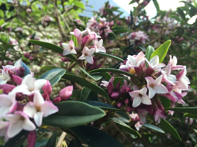 newly flowering Daphne retusa