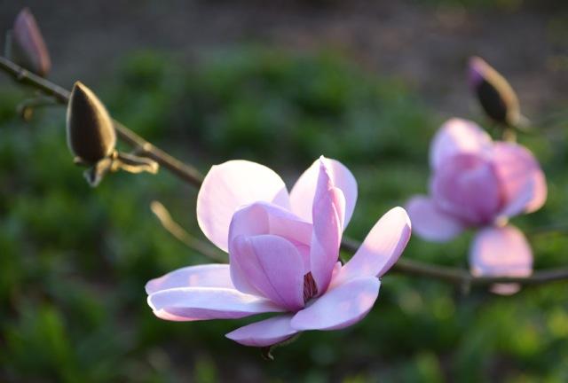 scented magnolia in flower
