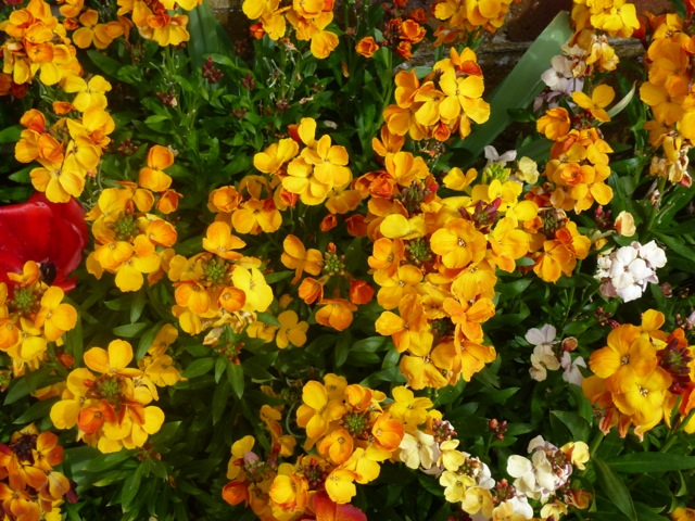flowering wallflowers