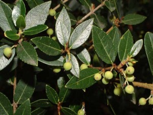 phillyrea-latifolia