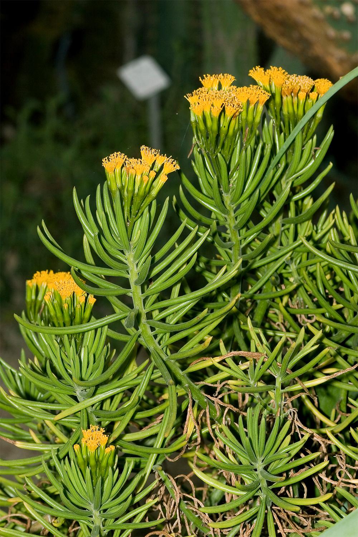 senecio flowering branches
