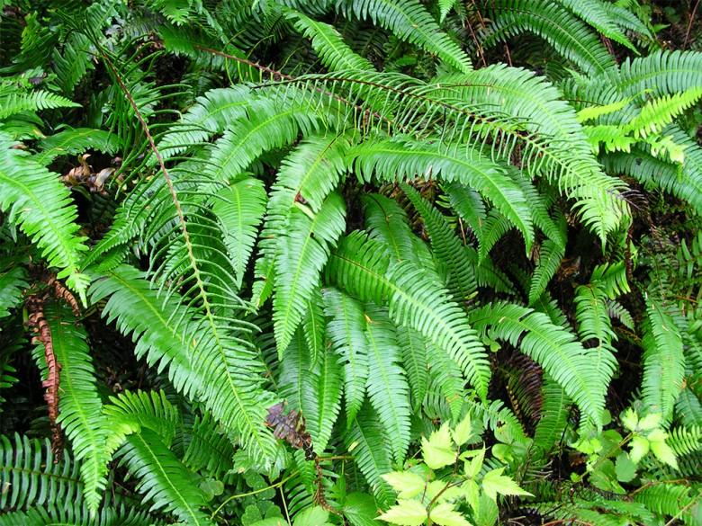polystichum-munitum leaves