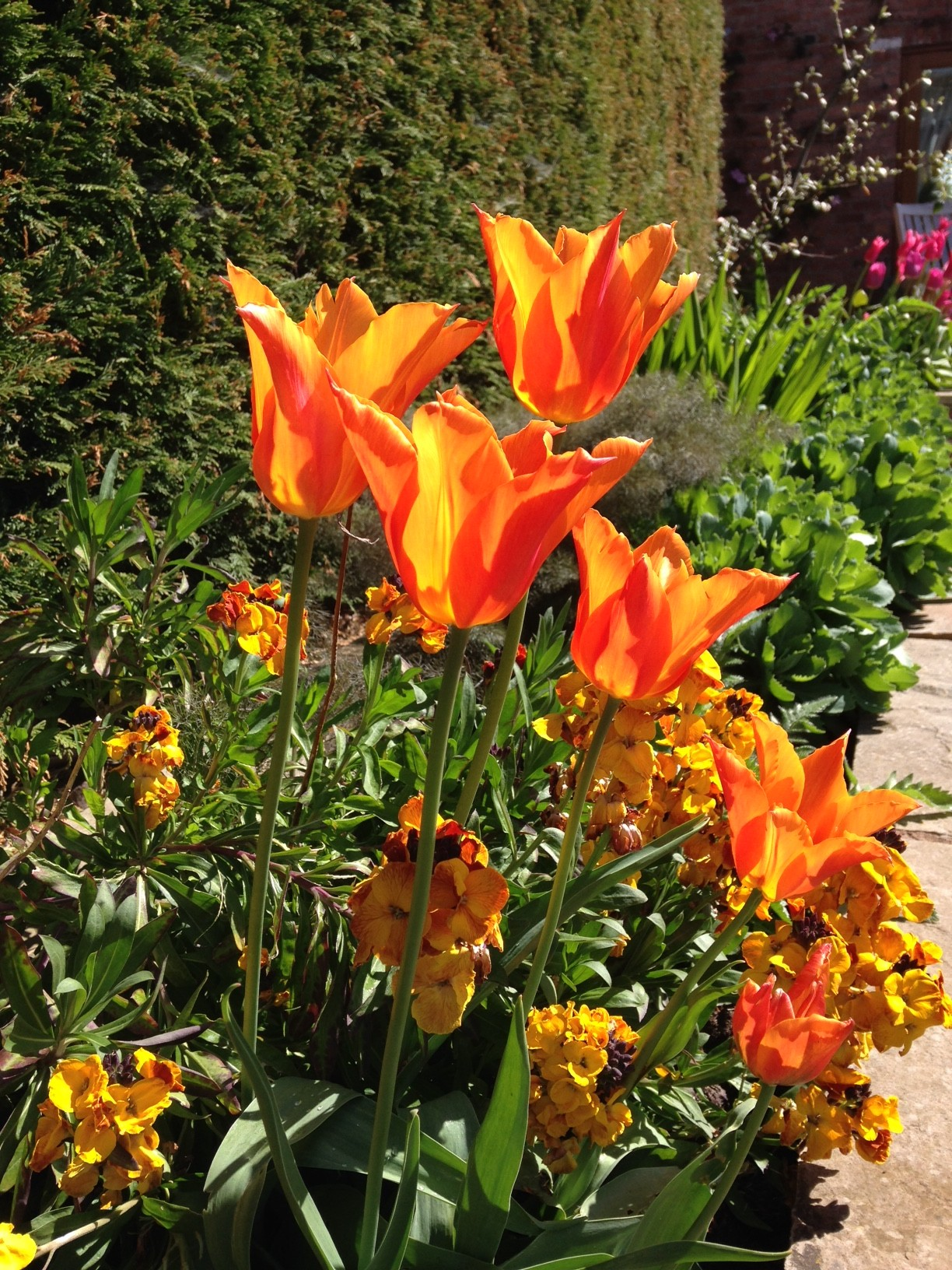 tulip ballerina in the sun along with a wallflower