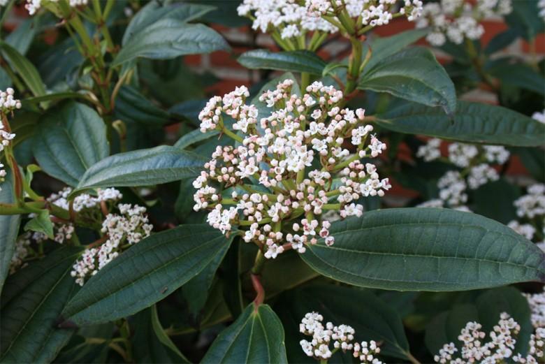 viburnim-davidii foliage and flowers