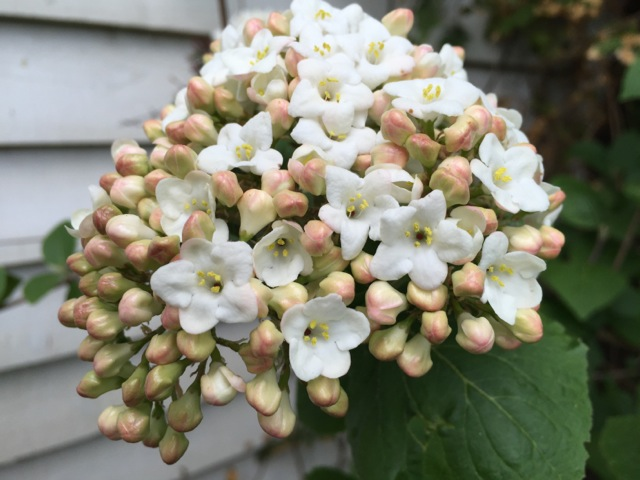 Viburnum carlesii provide fragrance