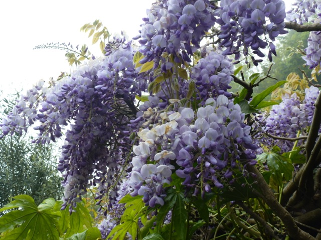 Cascading flowers of Wisteria
