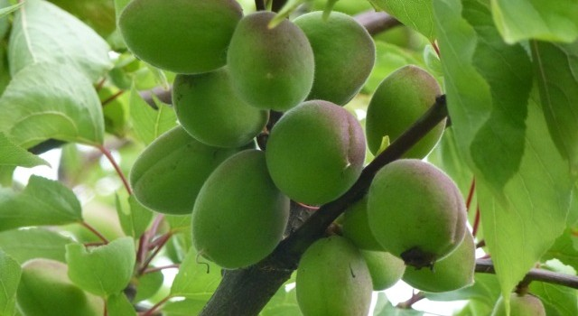 Apricot Abundance