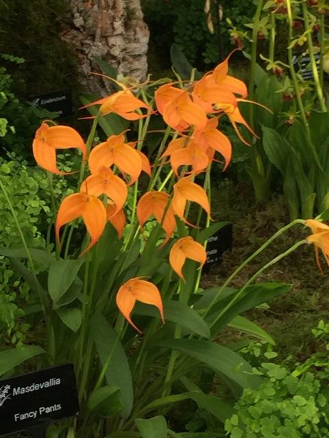 orange orchid called fancy pants