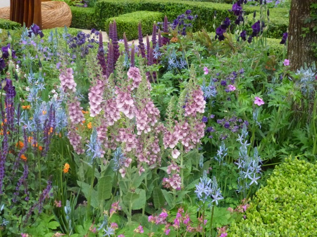 Salvia 'Caradonna' and pale blue camassias