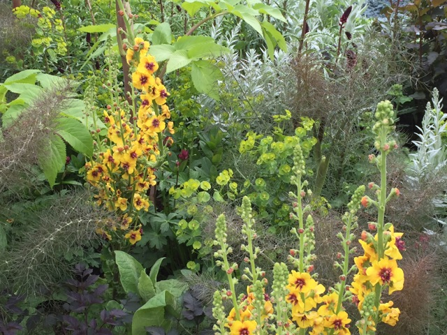 yellow verbascums with bronze fennel