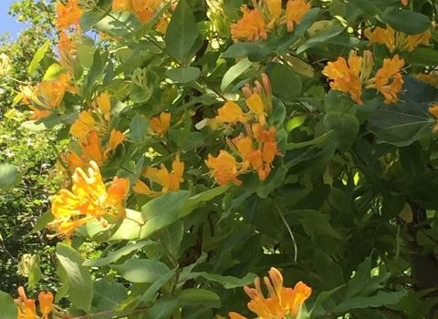The Sunniest of Honeysuckles