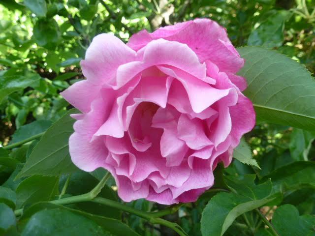 Mme. Gregoire Staechlin rose