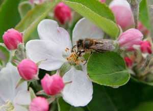 apple blossom being pollinated by bee