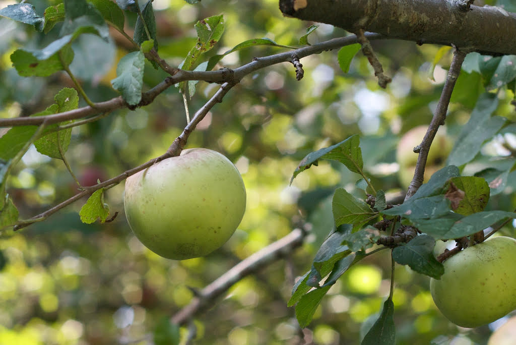 green apple growing on branch