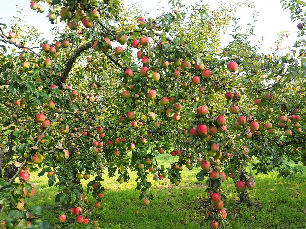 mature apple tree laden with apples