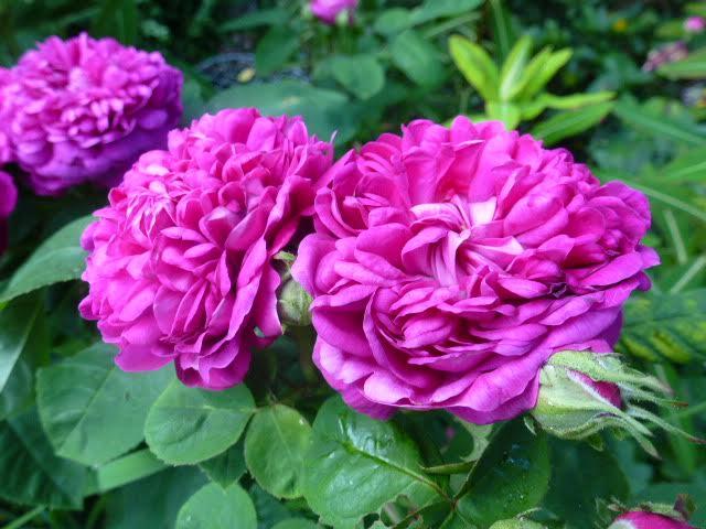 Rosa de Rescht