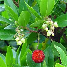 close up of fruit on strawberry tree