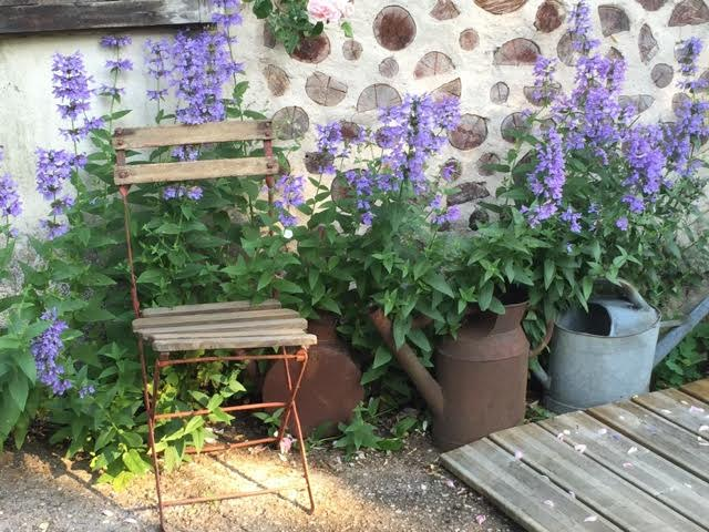A perfect backdrop for a gorgeous blue nepeta