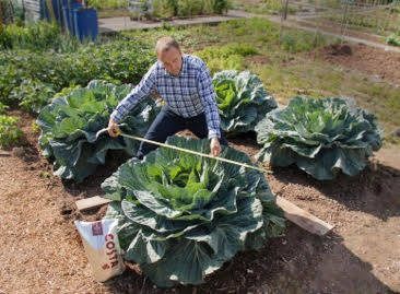 giant cabbage plant