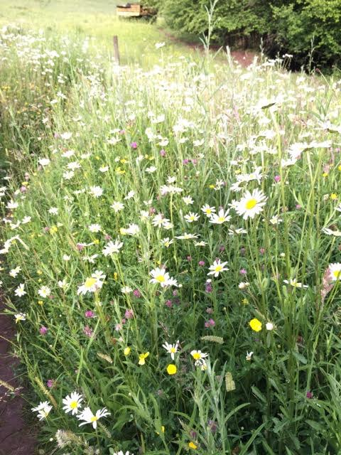 Wildflower meadows grow at the edge the gardens