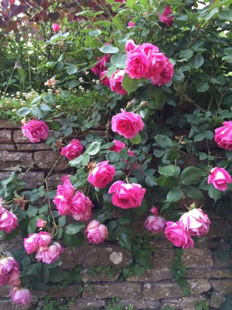 Roses tumble down walls