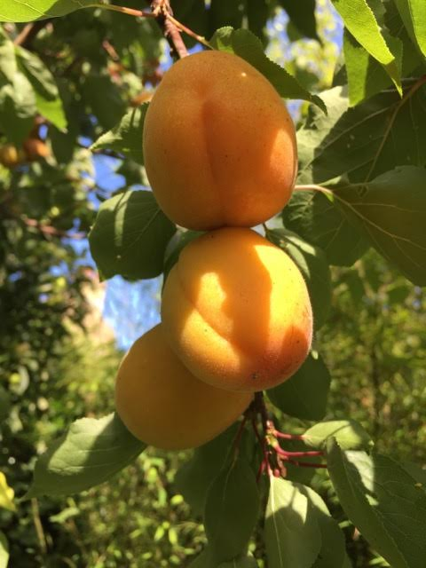 ripening apricots on tree