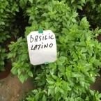 basil latino